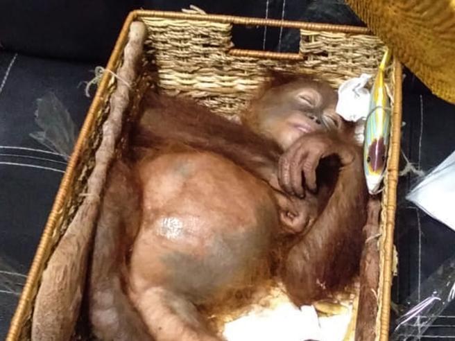 Viaggia con un orango in valigia: turista arrestato